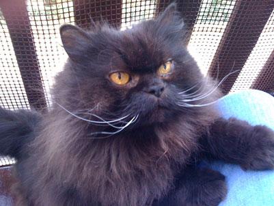 Ed ecco la foto di Brian, il gatto persiano di Fulvia ritratto da Anna Maria Di Giorgi