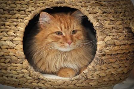 Questo è lo splendido Benjamin, gatto siberiano dell'allevamento amatoriale Masuri Siberian