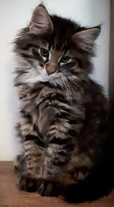Cucciolo di gatto Norvegese